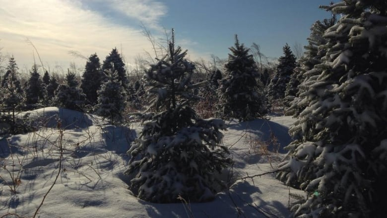 Christmas Trees On Crown Land What You Need To Know Cbc News