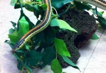 outlaw, garter snake
