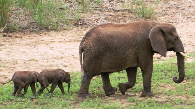 Pongola Game Reserve in South Africa is home to a rare set of twin elephants born to an elephant named Curve in December.