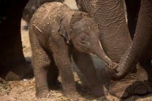 Mideast Israel Baby Elephant