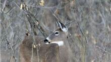 deer w tree 620