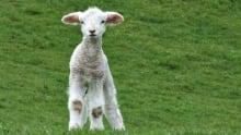 Non Factory Lamb 620