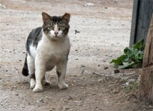 An example of an 'ear-tipped' free-roaming cat.