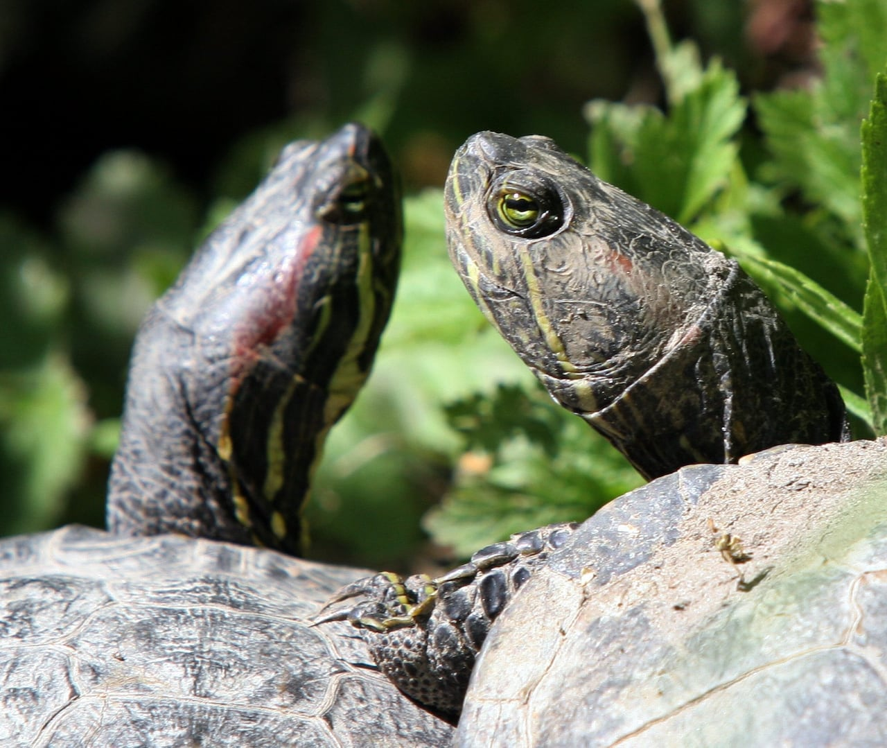 Invasive pet turtles dumped in Wascana Lake continue to spark