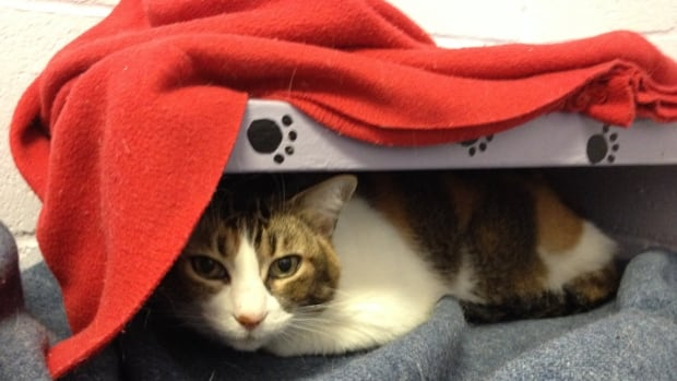 Jazzy the cat lies in the communal room at the SPCA's Vancouver branch.