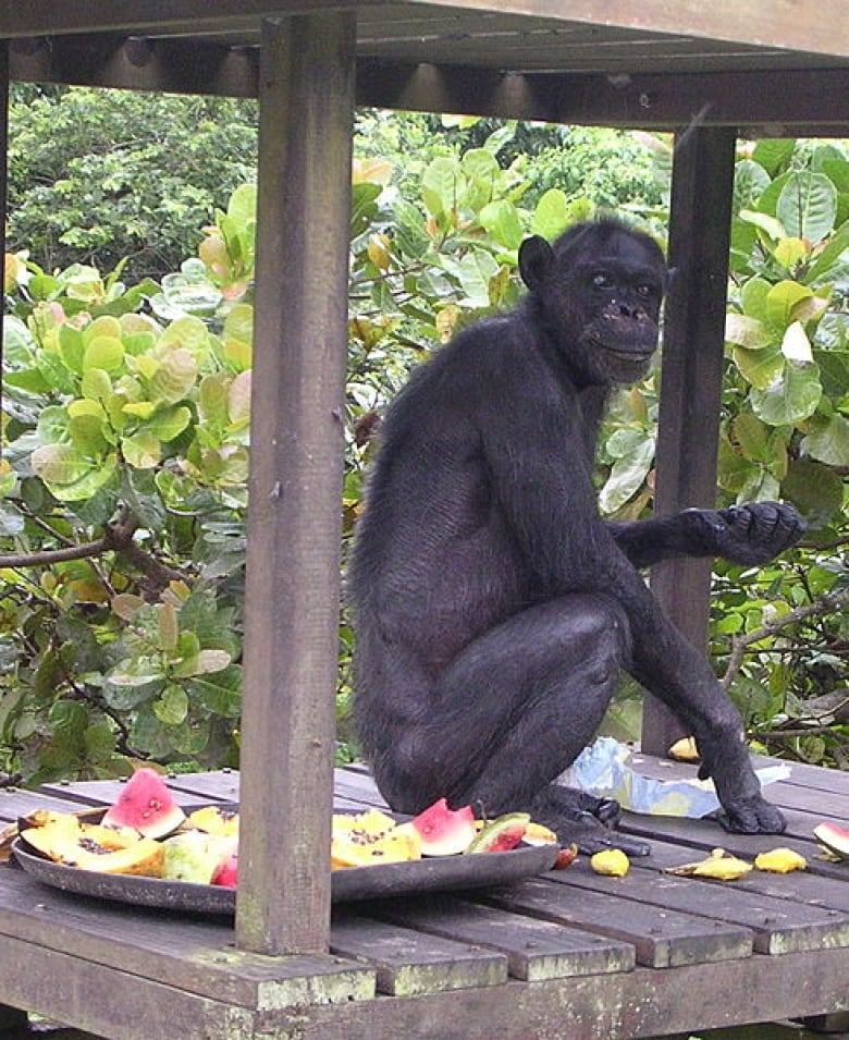 Human taste for alcohol linked to apes eating rotten fruit