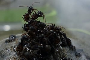 Ants forming a raft