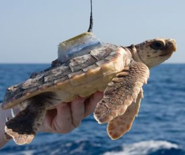 Turtle fitted with satellite transmitter