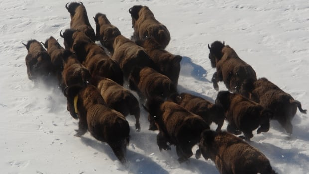 The Aishihik bison herd in Yukon is estimated to include about 1,300 animals. The government's target population is 1,000.