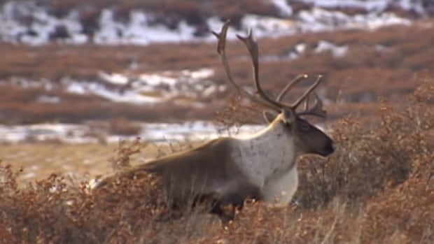 Management of the Bathurst caribou herd was at the centre of a contentious discussion Wednesday between Tlicho elders and territorial government officials.