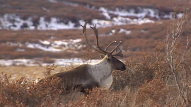 'Unproven': Canadian caribou research critical of U.S. report