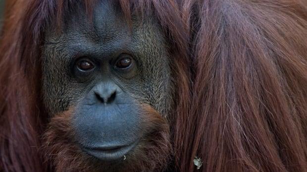 CORRECTION Argentina Orangutan Freedom