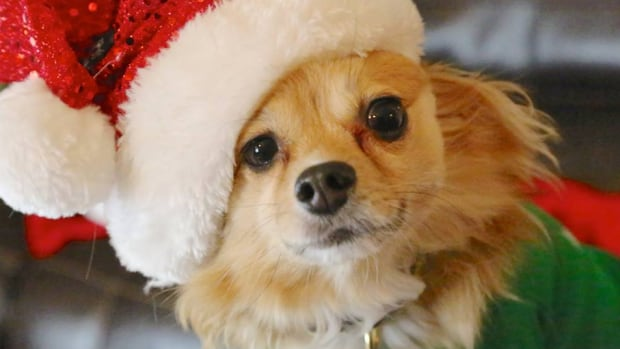 The PEI Humane Society cautions that some holiday treats and decorations can pose a threat to your pet.