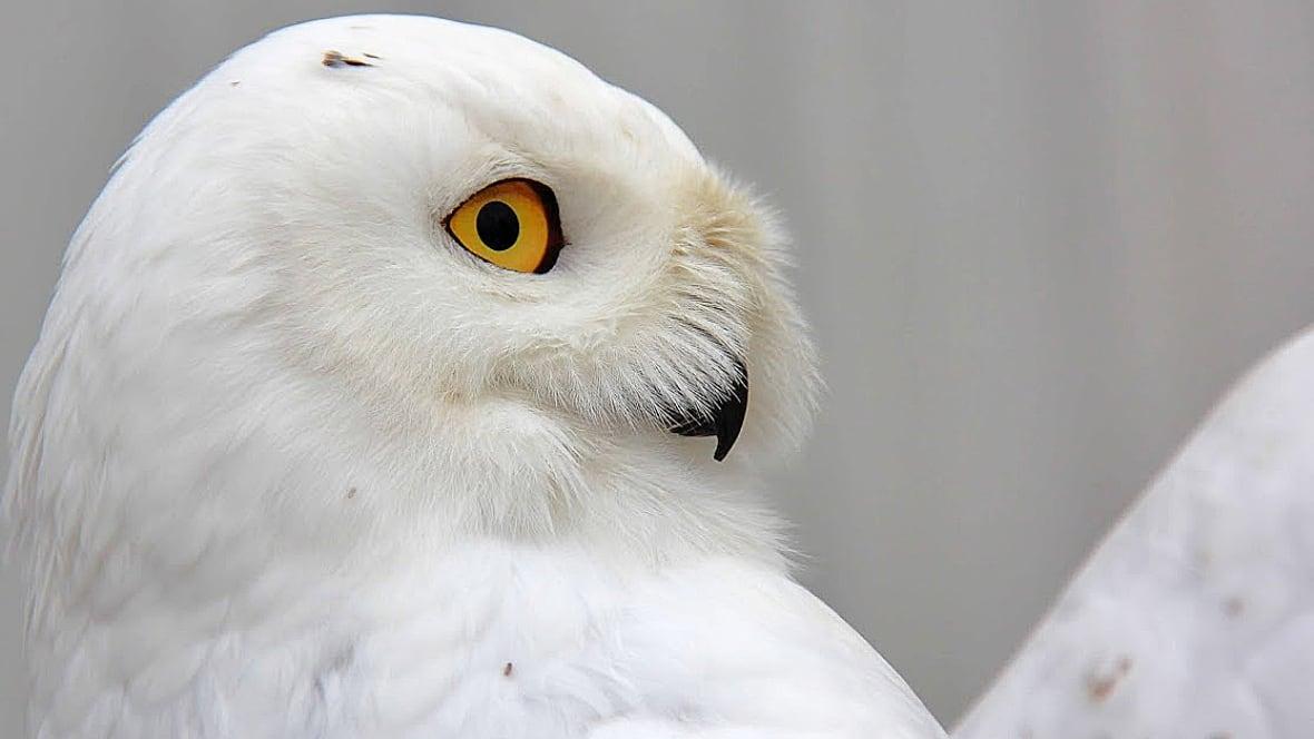 white owl single christian girls Shop 525 white owl bird blown glass christmas ornament.