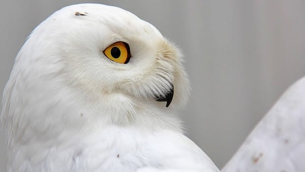 Snowy Owl A Peaceful Messenger For First Nations Woman Cbc News