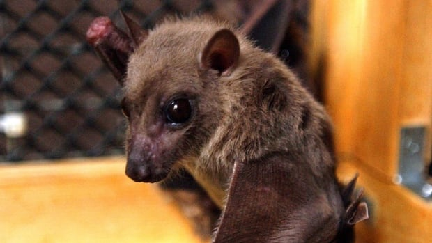 In a study published on Tuesday, scientists determined that the first victim of the current Ebola outbreak may have been infected while interacting with bats in a small village in southeastern Guinea.