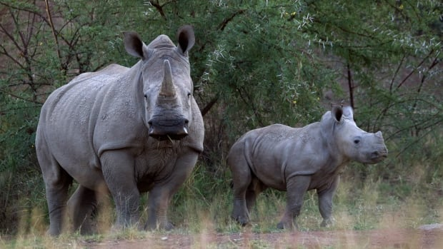 South Africa is home to nearly 20,000 or over 90 per cent of the world's rhino population. In the country, more than three rhinos are poached every day.
