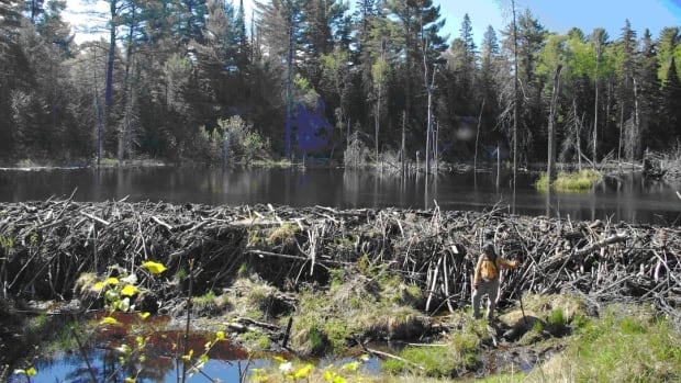 Some beaver dams in northwestern Ontario can be extremely large, as is shown in this photo.