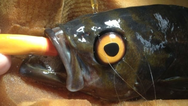 A Vancouver Aquarium vet fixed the prosthetic eye to the bone above the rockish's eye socket — while it was under anesthesia — by sewing it on with nylon sutures and attaching it with titanium clips.