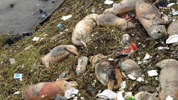 Another contaminated food scandal has hit China, where more than 110 people face charges of selling products from diseased pigs. In 2013, more than 900 dead pigs, above, were pulled from a Shanghai river that is a water source for city residents.