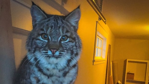 Bobcats: 3 ways to protect yourself and your pets