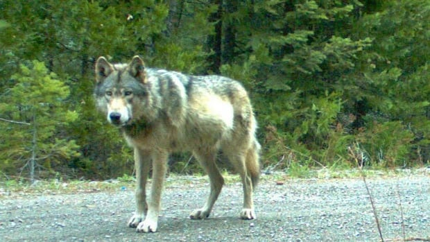 Wolf Attack In Pacific Rim Park Leaves Dogs Injured