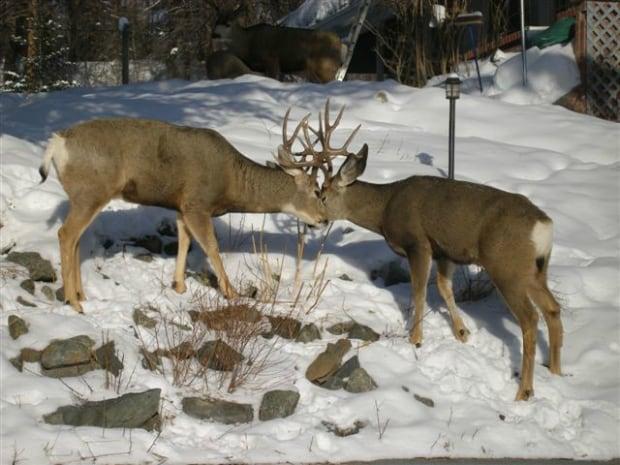 Dueling Mule Deer banner