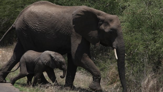 The Dallas Safari Club has cancelled its plans to auction a 12-day African elephant hunt in Cameroon.