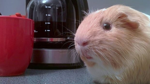 Guinea Pig Poster Boy Brings Online Following To Pointe