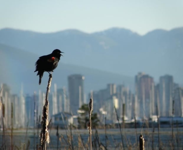 Vancouver bird strategy