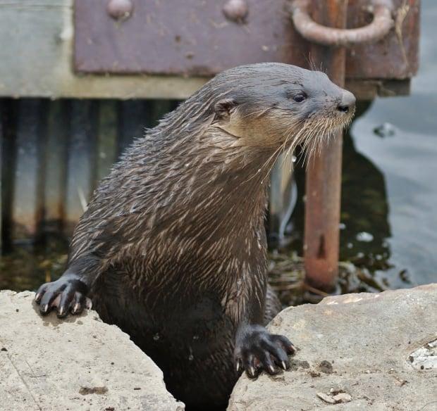Quidi Vidi otter by Bill Perks