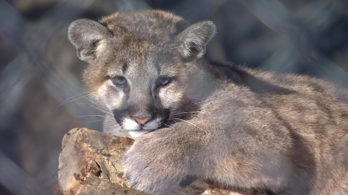 Cougar West Island Montreal