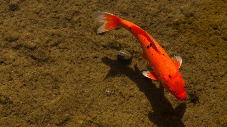 Quesnel Dragon Lake Trout Endangered By Koi Infestation