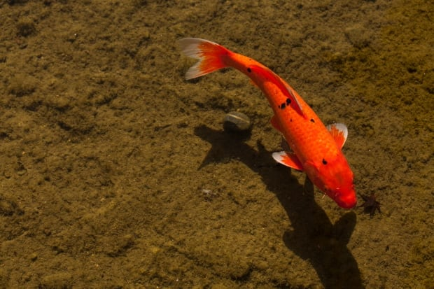Okotoks battles giant goldfish menace with pesticide for Koi fish predators