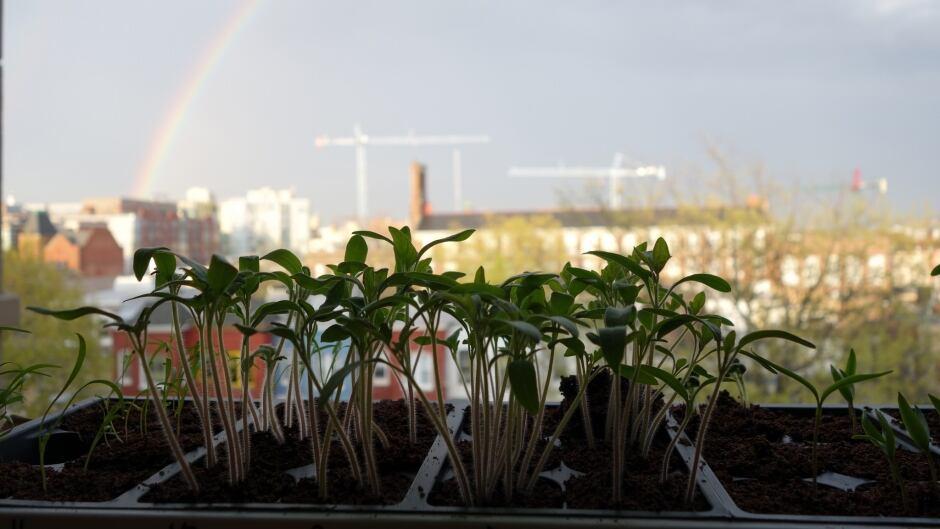 Fruit & veggie seedlings in starter tray.