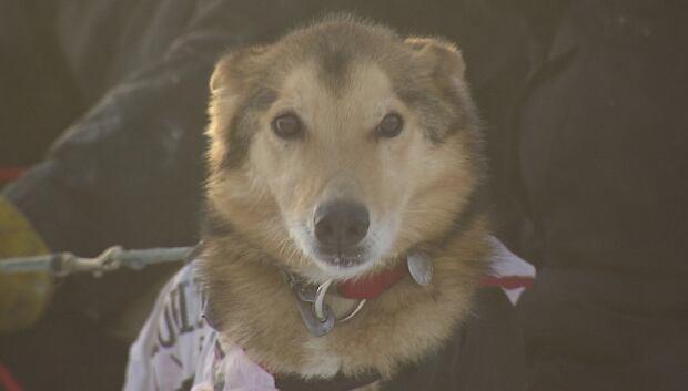 Yukon Quest Dog
