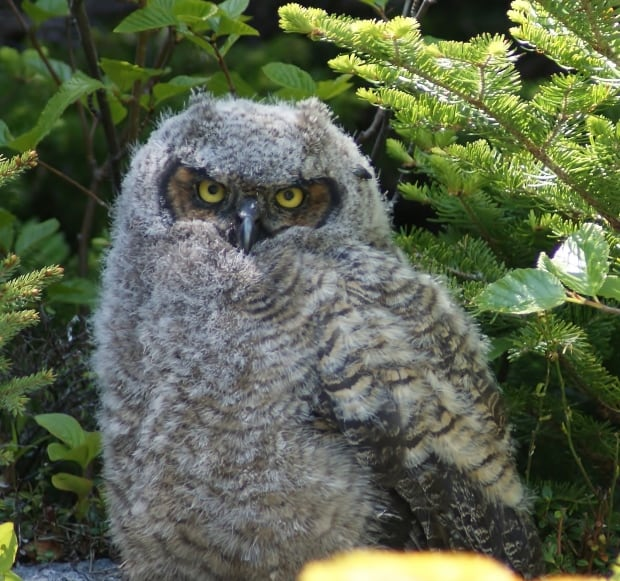 Great Horned Owl by Bill Perks
