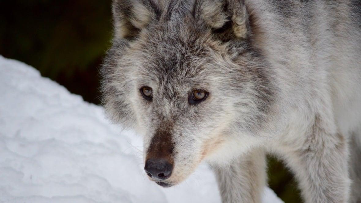 wolf culling in alberta