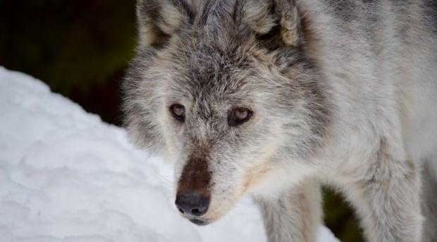 B.C. wolf cull