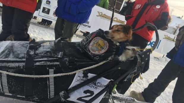 Brent Sass arrived at the halfway point with 13 dogs running and one in the sled. He arrived at Circle City checkpoint early Saturday morning.