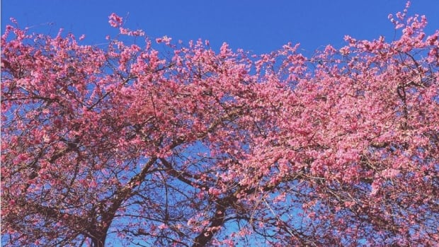 By late March most years, Vancouver streets are already under a canopy of pink cherry blossoms. Not so this year.