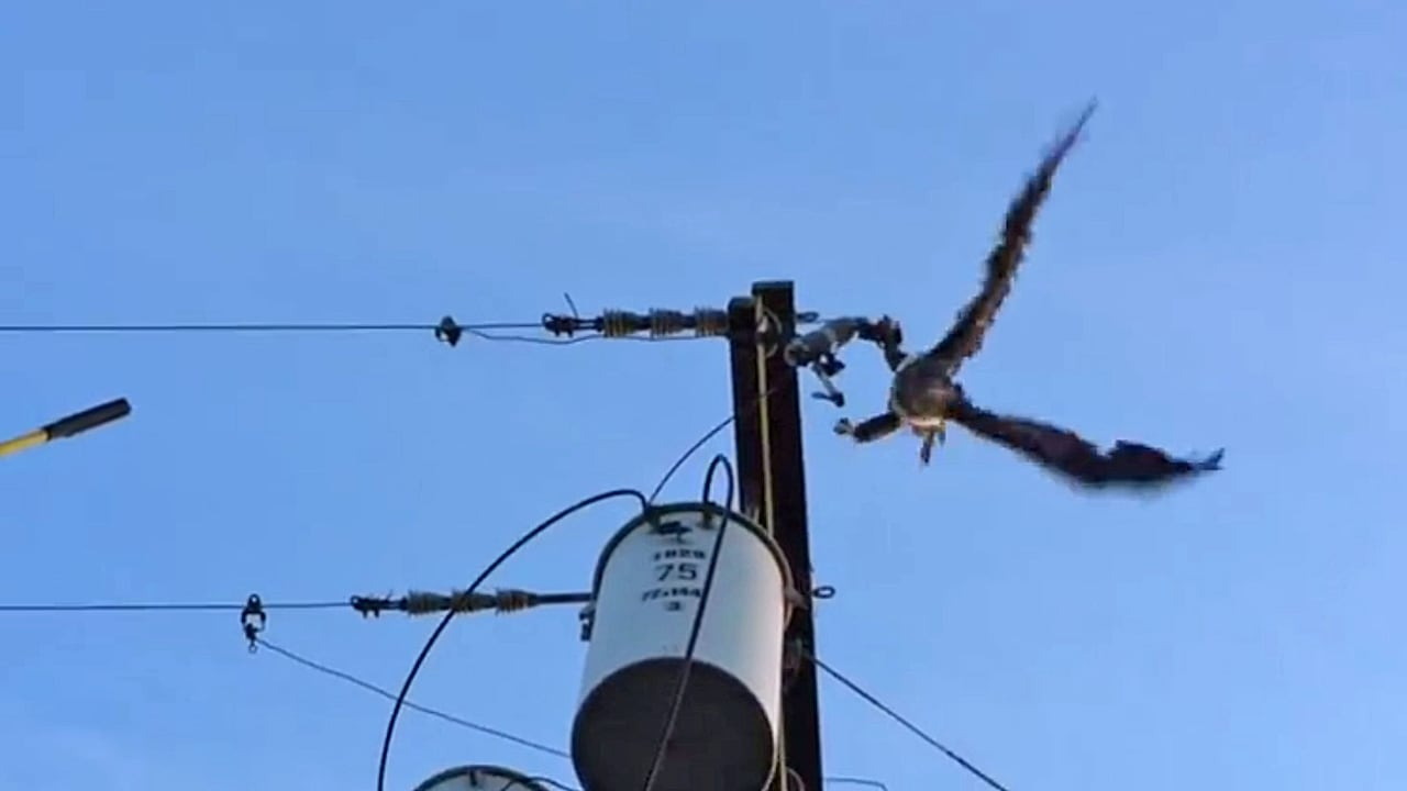 Bald eagle power line rescue caught on video by BC Hydro