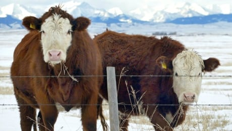 Seaweed makes cows less gassy — and scientists want to know how | CBC