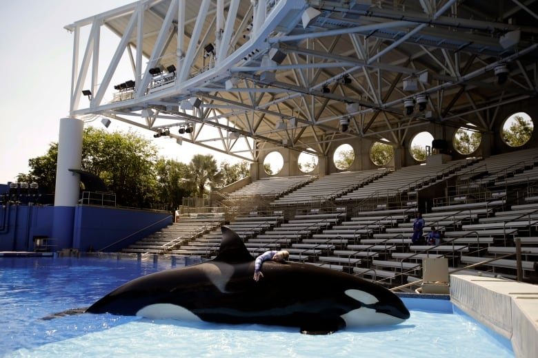 In this April 10, 2014 photo, Sea World trainer Michelle Shoemaker hugs killer whale Kayla as she works on a routine before a show, in Orlando, Fla. SeaWorld Entertainment, Inc. has faced criticism over its treatment of its captive killer whales since the release of the highly-critical documentary, 'Blackfish,' last year. (AP Photo/John Raoux)(John Raoux/ Associated Press)