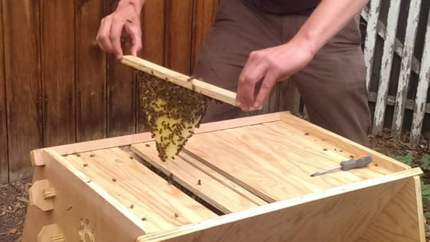 Tristan Copley Smith displays bees from his open-source hive.