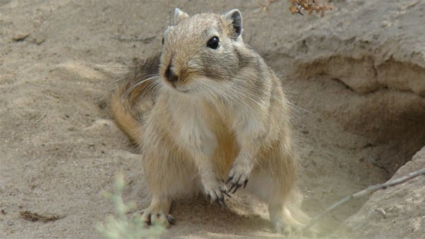 The great gerbil, which has also been described as a giant gerbil, is native to Central Asia. A new study suggests that the squirrel-sized rodents, and not black rats, brought the 14th-century Black Death over from Asia in intermittent waves, killing millions of people over 400 years.