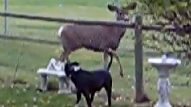 Nicki McIvor said the deer in Princeton, B.C., frequently come up to her property and are unafraid of her dogs.