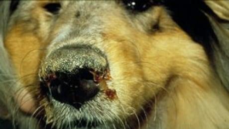Viral canine disease running through Natuashish band chief confirms