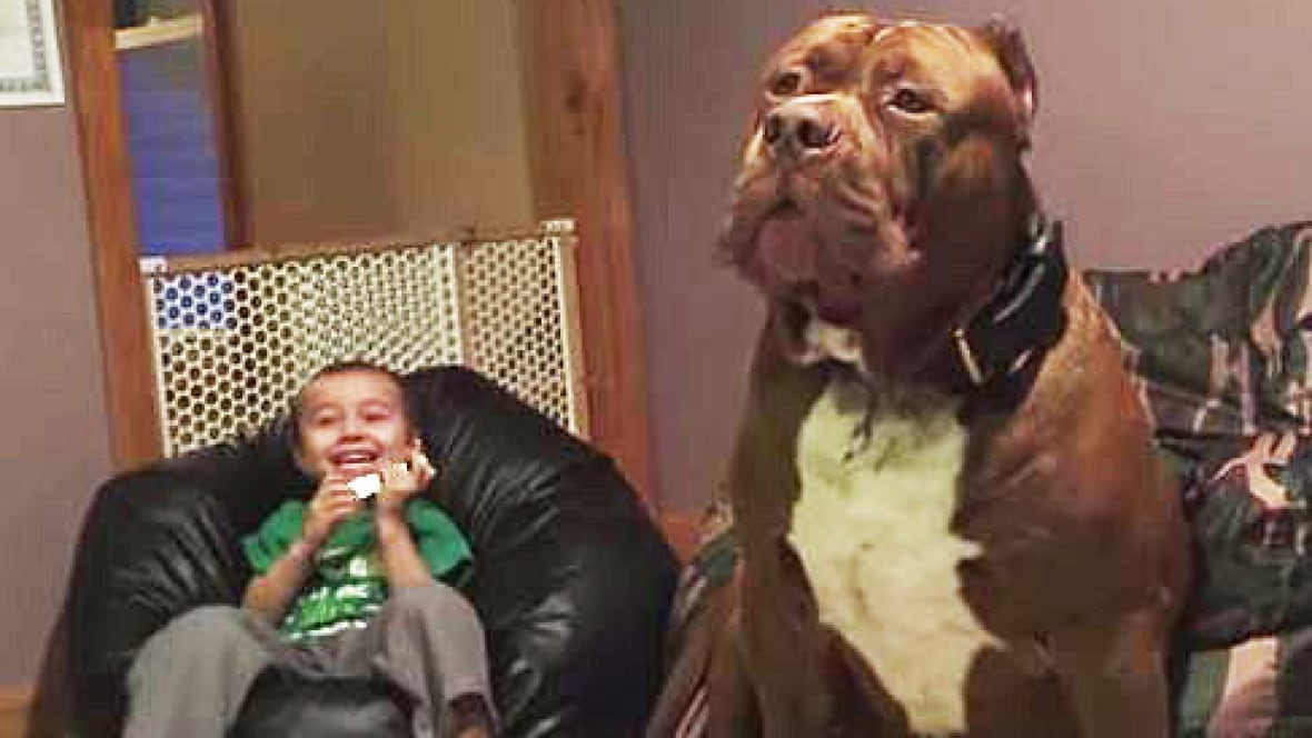 Meet Hulk The Biggest Puppy Youll Probably Ever See Trending - Meet hulk possibly worlds biggest pitbull still growing