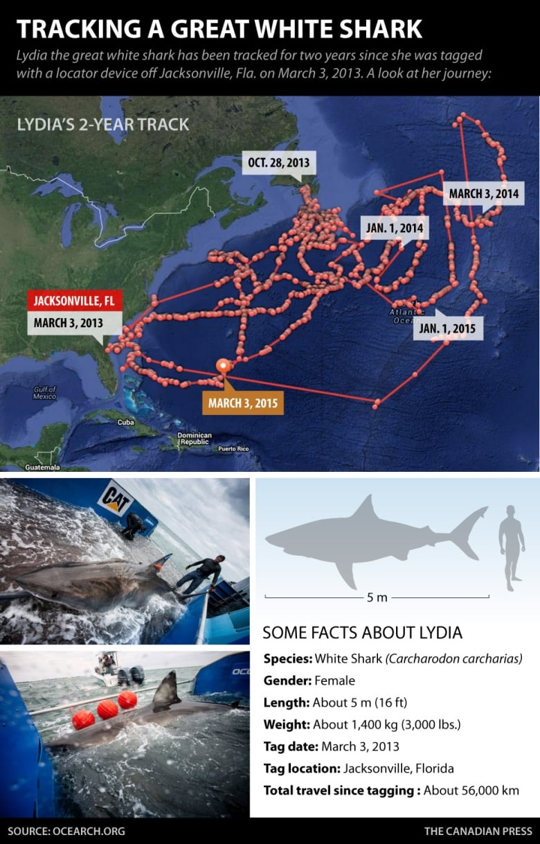 Great white shark secrets revealed by tracking 'Lydia's' tweets